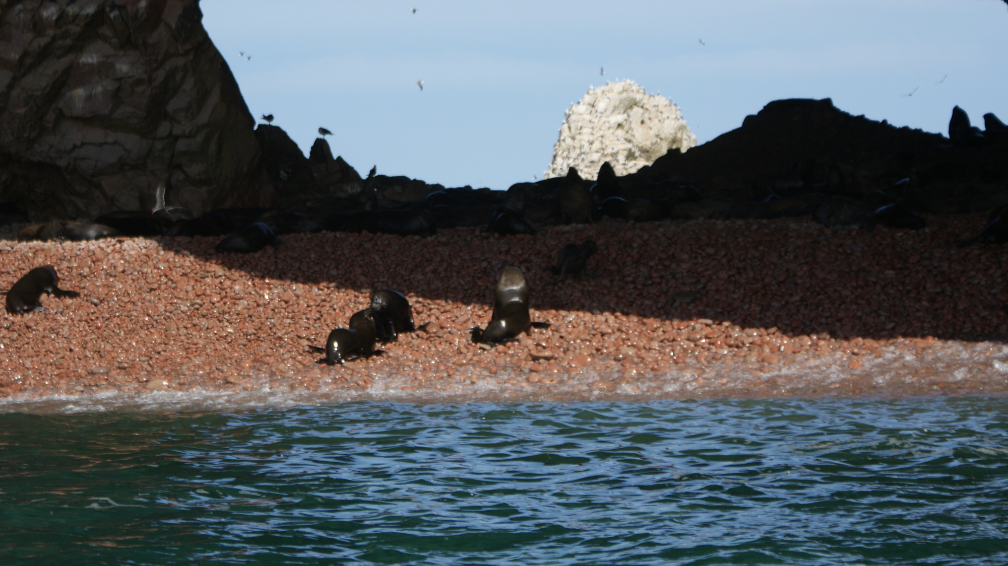 Peru Sea Lions